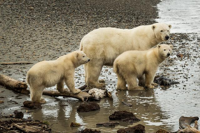 A polar bear mom and her cubs exploring the beach in Kaktovik. September 7, 2012. Photo: Loren Holmes.