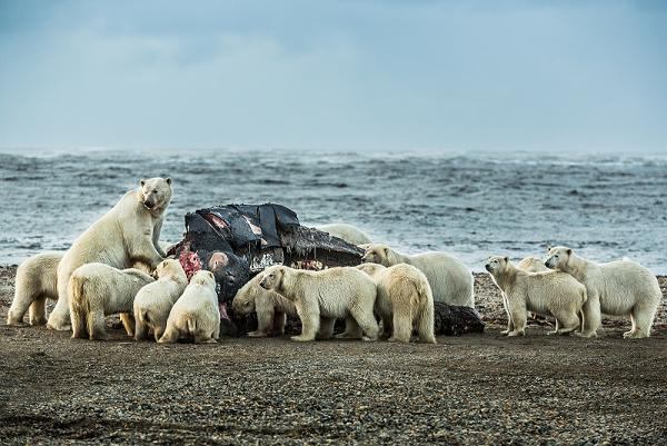 Polar bears congregate at the carcass of a bowhead whale on the beach in Kaktovik. September 7, 2012. Photo: Loren Holmes. Alaska Dispatch.