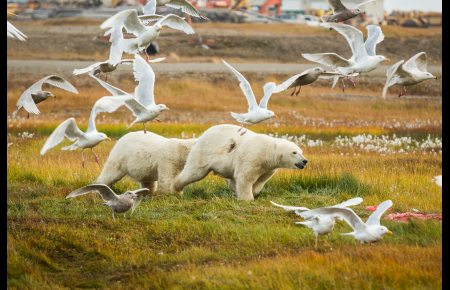 Young polar bears are chased away from whale meat in Kaktovik. September 7, 2012. Photo: Loren Holmes. Alaska Dispatch.