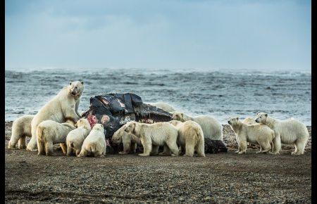 Polar bears congregate at the carcass of a bowhead whale on the beach in Kaktovik. September 7, 2012. Photo: Loren Holmes. Alaska Dispatch.