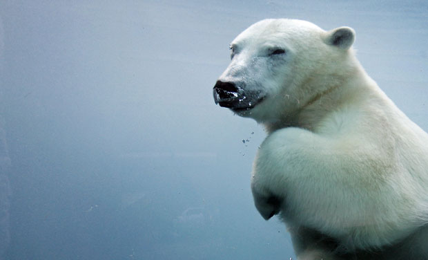 Polar bear swimming underwater. Mathieu Belanger/Reuters