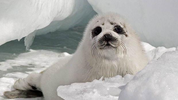 A young harp seal rests on ice floes in the Gulf of St. Lawrence in this 2009 file photo. A scientist with the department of Fisheries and Oceans says harp seals may be becoming more common and affecting ringed seal populations in Nunavut. (The Canadian Press/Andrew Vaughan)
