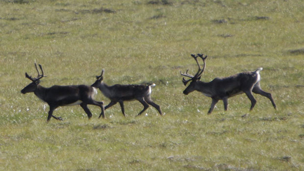 The Chisana caribou herd has grown to more than 700 animals following an international recovery project, up from less than 300 in 2003. Photo Rick Bowmer, Associated Press.