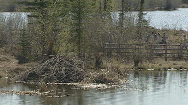 The beavers lived in this large dam in Niven Lake next to a walking trail. They've been shipped about 30 kilometres outside of the city. (CBC)