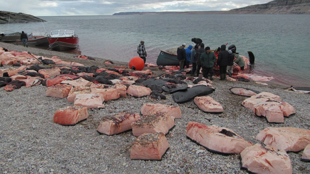 Community members in Arctic Bay, Nunavut, cut up the bowhead whale meat from the recent hunt. (Jobie Attitaq) CBC.ca