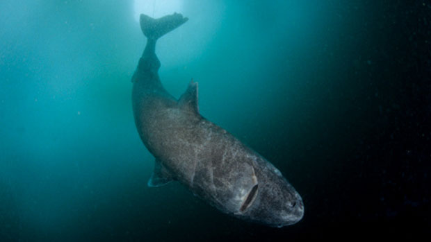 It's common for Greenland Sharks to get caught in fishermen's nets in Nunavut. (Getty Images)