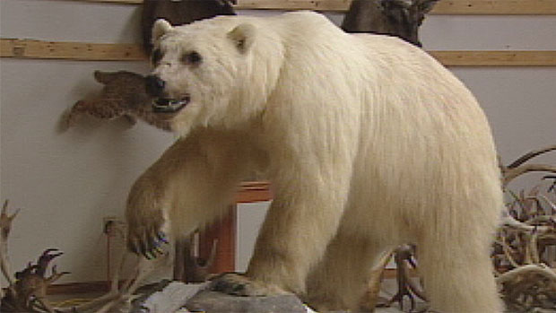 This stuffed grizzly-polar bear hybrid was found near Sachs Harbour, N.W.T. (CBC)