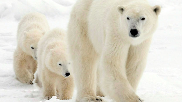 A polar bear and her two cubs walk along the shore of Hudson Bay near Churchill, Man., in 2007. (Canadian Press)