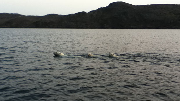 A polar bear and her two cubs swim offshore from Kimmirut, Nunavut, on the weekend. (Ineak Padluq) CBC.ca