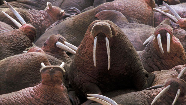 The Nunavut Wildlife Management Board is asking hunters in the territory to fill them in on what their harvest needs are for walrus, beluga and narwhal. (AP Photo/U.S. Fish and Wildlife Service)