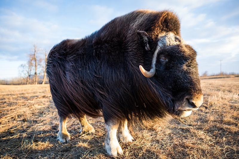 Close-up of a musk ox at Palmer's Musk Ox farm. December 3, 2012. Photo: Loren Holmes