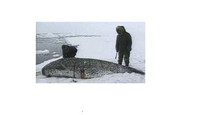 Inuit whalers in Nunavut cut up harvested narwhal. Narwhal are harvested for their skin and blubber, as well as for the long tusks on the males. Image CBC.