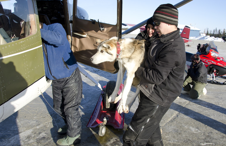 Volunteers in Nikolai load dropped dogs on a plane for a flight to McGrath. Photo: Stephen Nowers. Alaska Dispatch.