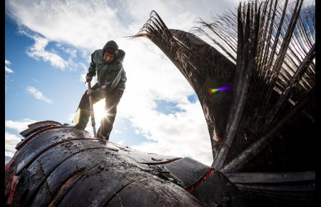 Eddie Rexford butchering a bowhead whale head on the beach in Kaktovik. September 6, 2012. Photo: Loren Holmes. Alaska Dispatch.