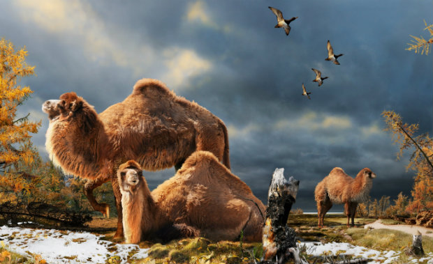 Illustration of the High Arctic camel on Ellesmere Island during the Pliocene warm period, about three-and-a-half million years ago. The camels lived in a boreal-type forest. The habitat includes larch trees and the depiction is based on records of plant fossils found at nearby fossil deposits. (Julius Csotonyi)