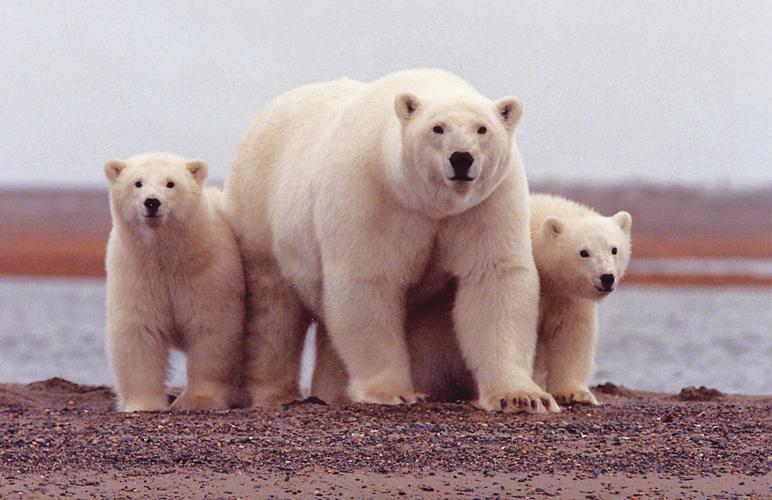 Polar bear with cubs along with Beaufort Sea. Alaska Dispatch.
