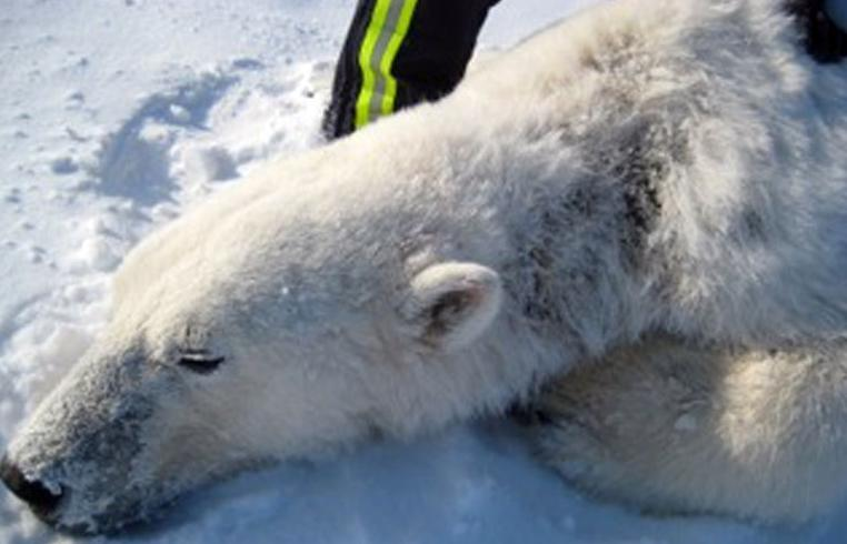A polar bear, captured in spring 2012 by USGS researchers, has hair loss and oozing sores on the left side of its neck. Photo: USGS