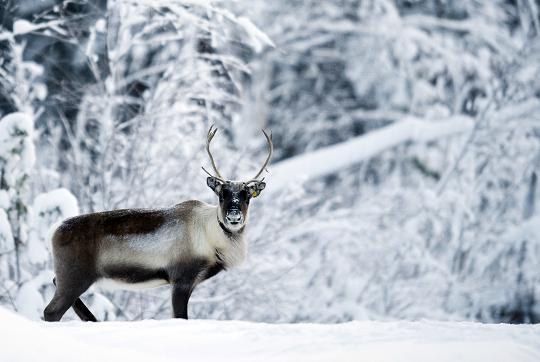 A reindeer is seen on December 20, 2010 near the village of Vuollerim, Lapland province, west of the coastal city of Luleaa. Photo: Jonathan Nackstrand, AFP.