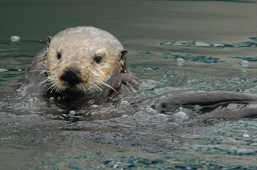 A sea otter swims in Monterey Bay, California. Photo: Tania Larson/USGS