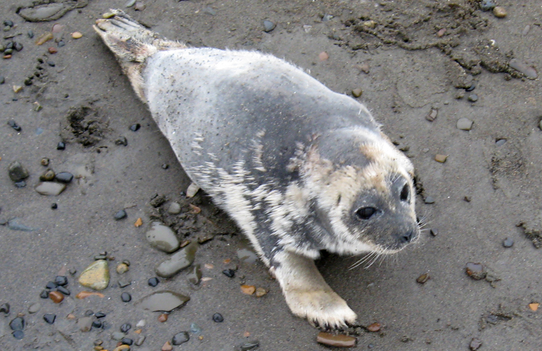 An ill ringed seal on the North Slope. Photo courtesy North Slope Borough. Alaska Dispatch.