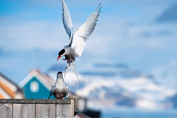 An Arctic Tern lands on a fence by the scientific base at the Arctic settlement of Ny-Alesund, Norway, in the Svalbard archipelago. Photo: Martin Bureau, AFP.