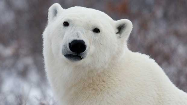 Airborne light detecting and ranging is being used in Arctic Alaska to identify polar bear denning sites. (The Canadian Press)