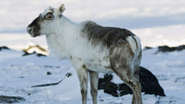 A caribou paused near the Meadowbank gold mine in Nunavut two years ago. Population declines have been reported in some barren-land caribou herds across the North. Photo by Nathan Denette, Canadian Press.