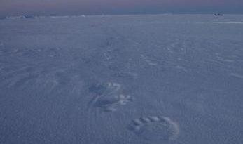 Polar bear tracks in Nunavut, Canada. (Levon Sevunts /Radio Canada International)