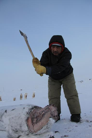 Inuit musher and hunter Joelie Sanguya cuts up a frozen seal carcass to feed his sled dogs near Clyde River, Nunavut. Photo by Levon Sevunts