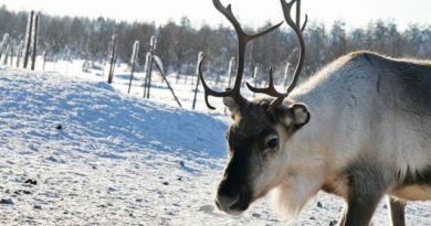 The average income from reindeer herding has dropped significantly in Finlnd. (Hanna Eskonen / Yle)