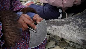 An Inuit woman working with seal skin and an ulu, a traditional Inuit knife. The EU seal ban has had a negative impact on Inuit in the circumpolar world. (CBC)