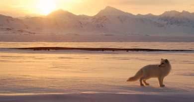An Arctic fox hunts in the Norwegian Arctic. (Gregory Tervel, AFP)