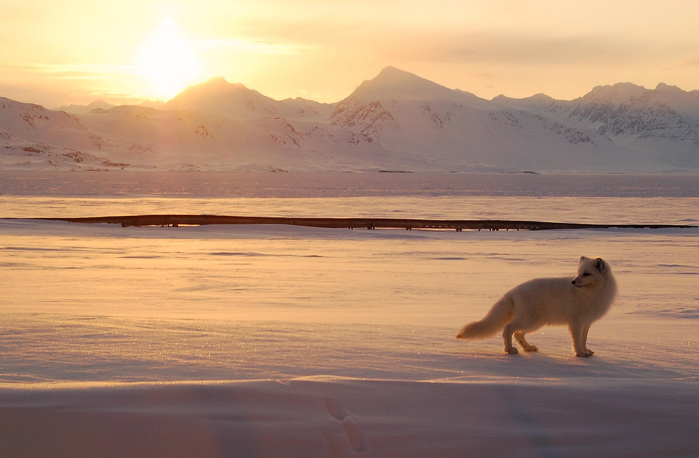 An Arctic fox hunts in the Norwegian Arctic. (Gregory Tervel)