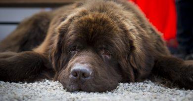 A dog resting in Stockholm Sweden. (Jonathan Nackstrand, AFP)