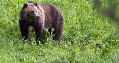 A grizzly bear roaming near Beaver Lake in Yellowstone National Park, Wyo.(Jim Urquhart / AP Photo)