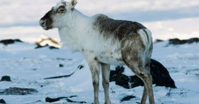 Caribou may be affected by changes in their food sources and migration paths. (The Canadian Press)
