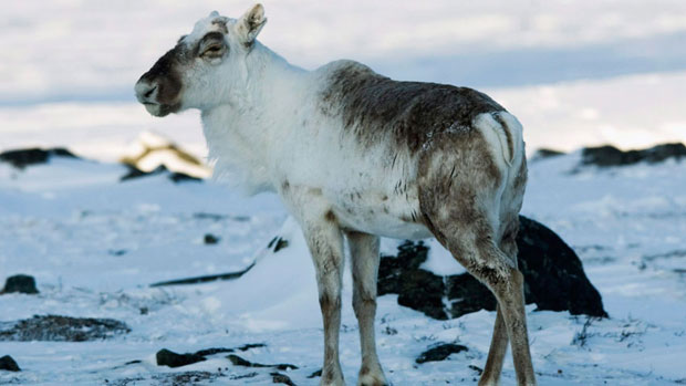 A caribou pauses near the Meadowbank gold mine near Baker Lake, Nunavut in 2009. New data suggest the south Baffin Island population has declined by more than 95 per cent in the last two decades. (The Canadian Press)