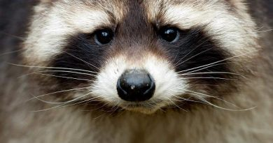 The racoon is a non-native species to Sweden. (Sven Hoppe / AP Photo / dpa)