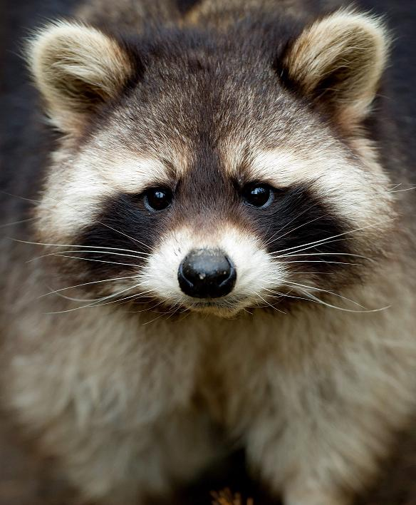 A raccoon pictured in Germany. The raccoon is a non-native species to Sweden. (Sven Hoppe / AP Photo / dpa)