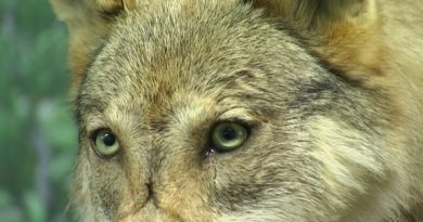 Wolves are under threat in Finland. (Yle)