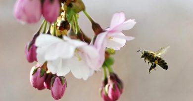 A bee gathers pollen.(Anders Wiklund, Scanpix Sweden, AFP)