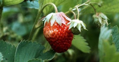 Warm weather may make the strawberry harvest shorter than usual. (Erkki Suonio / Yle )