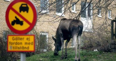 A young moose feeding near a housing estate in central Gothenburg, Sweden. ( Pontus Lundahl / PRESSENS BILD / AFP)
