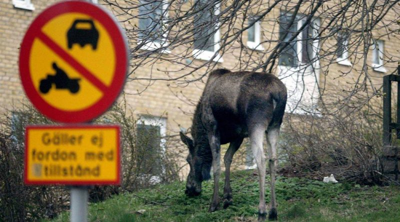 A young moose feeding near a housing estate in central Gothenburg, Sweden. ( Pontus Lundahl / PRESSENS BILD / AFP)