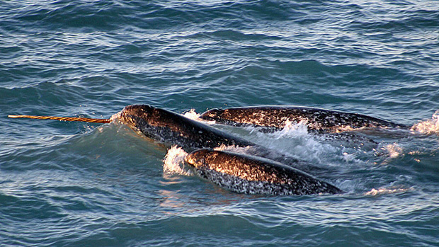 A new narwhal management is in place in Canada's eastern Arctic territory of Nunavut.  (Kristin Laidre / NOAA / AP)