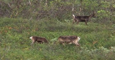 During the summer months, reindeer forage on the leaves of trees and bushes. (Vesa Toppari / Yle)