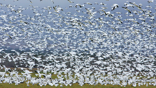Enough to spare? In this 2010 photo more than 8,000 snow and Ross' geese migrate into the Bitterroot Valley near Stevensville, Montana. The Canadian Wildlife Service says Nuanvut should consider allowing a spring hunt. (Perry Backus/AP)