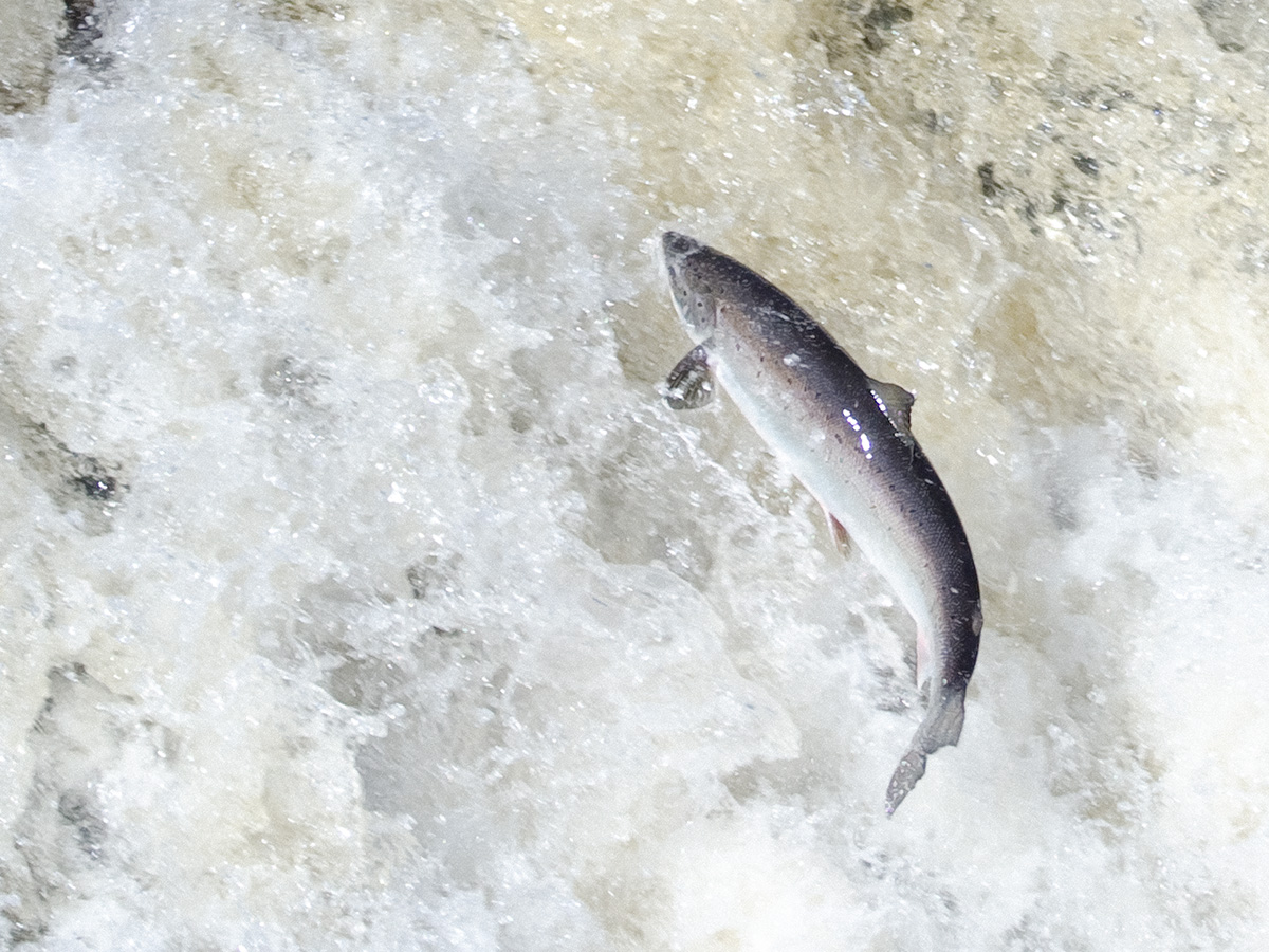 Salmon leaping on the Big East River, northwestern Newfoundland. (Tom Moffatt / Atlantic Salmon Federation)