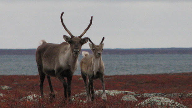 With the decline of some caribou herds, wildlife management has become a critical -- and controversial -- issue in the Northwest Territories.(CBC.ca)