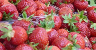 Finland's heat wave has accelerated the strawberry harvest this year. ( Jari Sirviö / Yle )